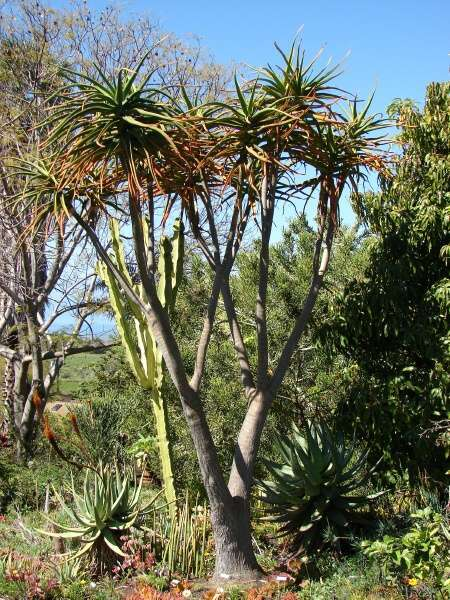 Photo of Giant Tree Aloe (Aloidendron barberae) uploaded by SongofJoy