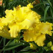 Photo Courtesy of Wynn's Daylily Garden. Used with Perm
