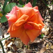 Location: Garland (Dallas), TXDate: 2012-11-03Fading Fall rebloom.