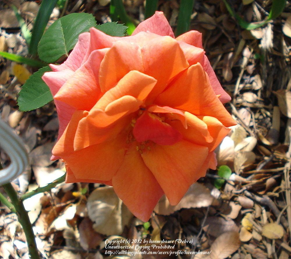 Photo of Rose (Rosa 'Easy Does It') uploaded by lovemyhouse