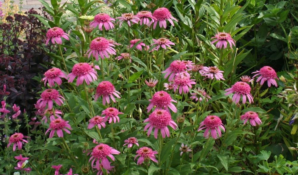 Photo of Coneflower (Echinacea 'Pink Double Delight') uploaded by 4susiesjoy