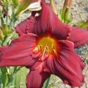 Photo Courtesy of Wrights Daylily Garden. Used with Per