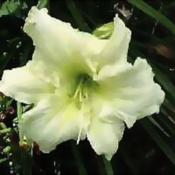 Photo Courtesy of Wrights Daylily Garden. Used with Permission