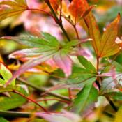 Location: My garden.Date: 2012-11-06Autumn glory.