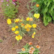 Location: My Cincinnati Ohio gardenDate: June 2012A clump of volunteer California poppies