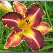 Photo Courtesy of Red Lane Daylily Gardens. Used with Permission
