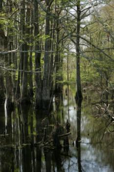 Photo of Bald Cypress (Taxodium distichum) uploaded by SongofJoy
