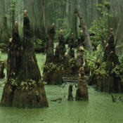 "Location: IllinoisBald Cypress ""knees\"""