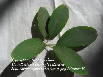 Photo of Five-Leaf Chocolate Vine (Akebia quinata) uploaded by rakami