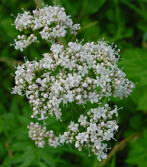 Photo of Valerian (Valeriana officinalis) uploaded by Calif_Sue