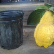 Location: Home gardenDate: 2012-11-12 A good year. This fruit is 2.5 pounds!