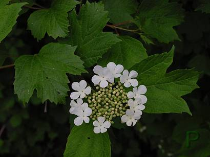Photo of Guelder Rose (Viburnum opulus) uploaded by Calif_Sue