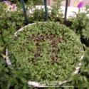 Micro-Greens Pie Planting Recipe