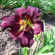 Photo Courtesy of Harbour Breezes Daylilies. Used with
