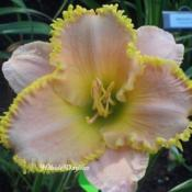 Photo Courtesy of Hillside Daylilies. Used with Permiss