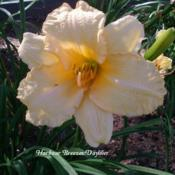 Photo Courtesy of Harbour Breezes Daylilies. Used with Permission