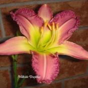 Photo Courtesy of Hillside Daylilies. Used with Permission