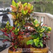 Location: Daytona Beach, FloridaDate: 2012-11-13 Codiaeum variegatum 'Petra', 'Mamey' and 'Magnificent'