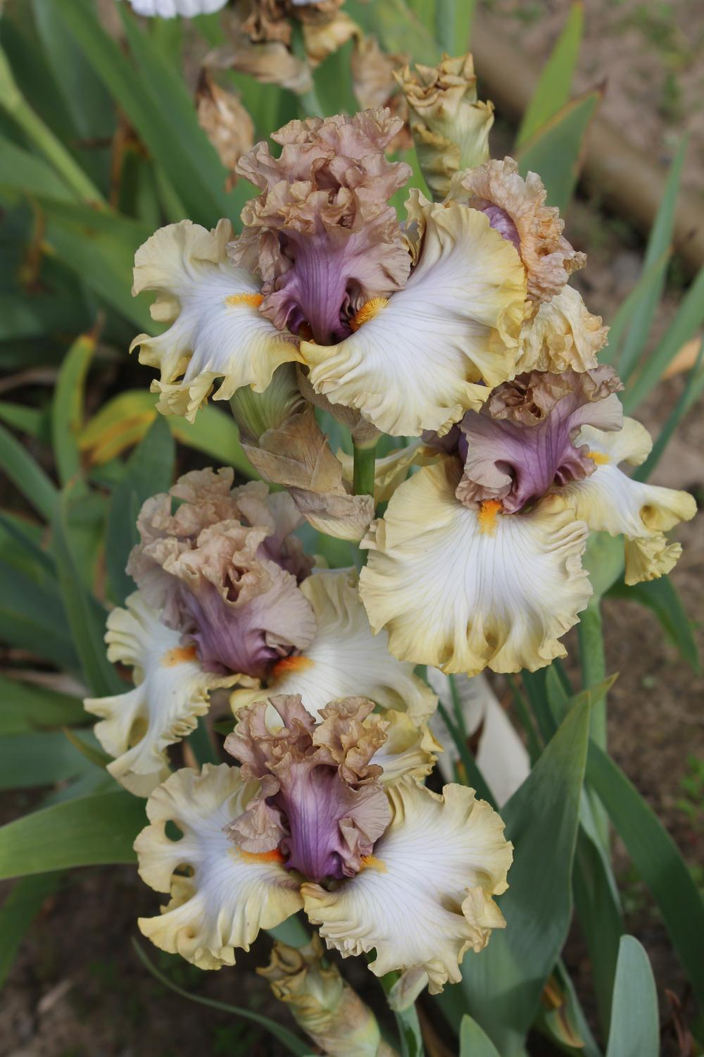 Photo of Tall Bearded Iris (Iris 'Colourable') uploaded by ARUBA1334