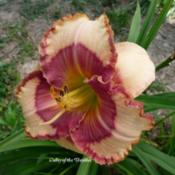 Photo Courtesy of Valley of the Daylilies. Used with Pe