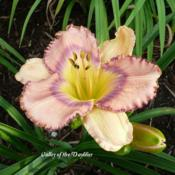 Photo Courtesy of Valley of the Daylilies. Used with Permission
