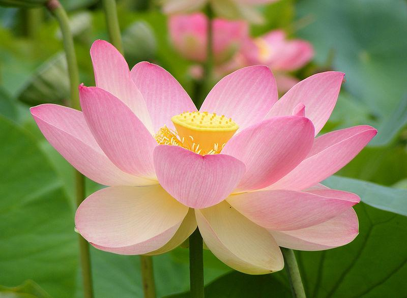 Photo of Sacred Lotus (Nelumbo nucifera) uploaded by SongofJoy