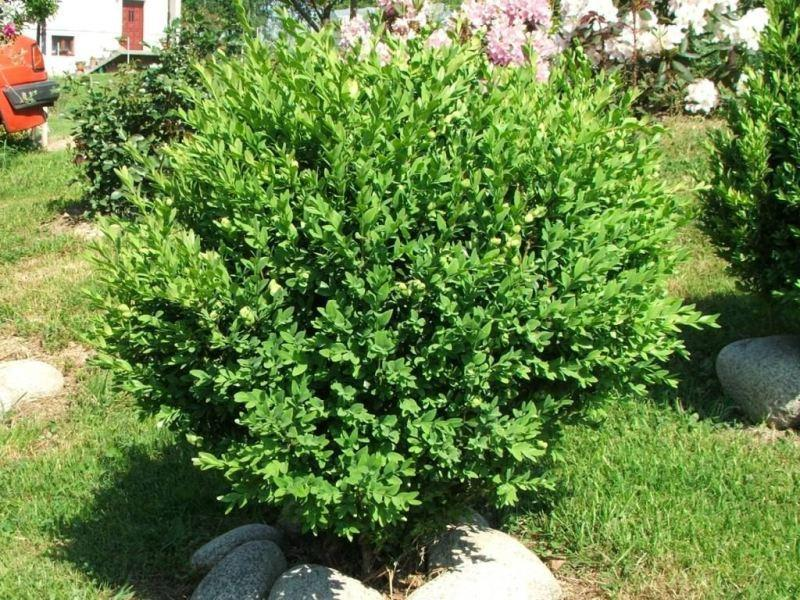 Photo of Common Boxwood (Buxus sempervirens) uploaded by SongofJoy