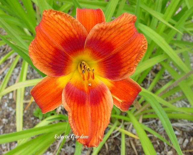 Photo of Daylily (Hemerocallis 'Holiday Delight') uploaded by Joy