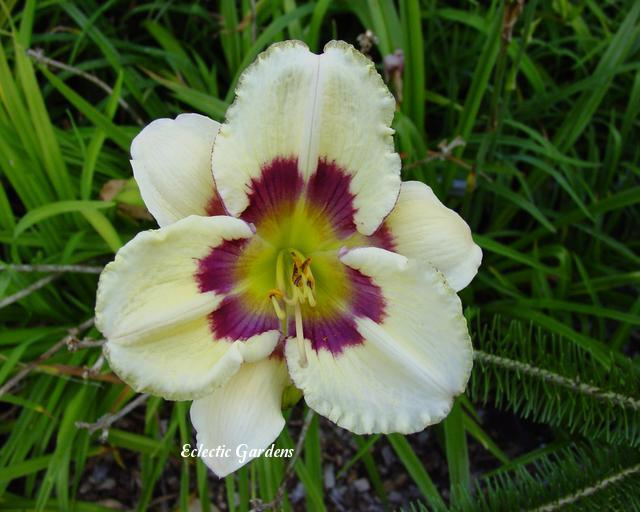 Photo of Daylily (Hemerocallis 'Forever in Time') uploaded by Joy