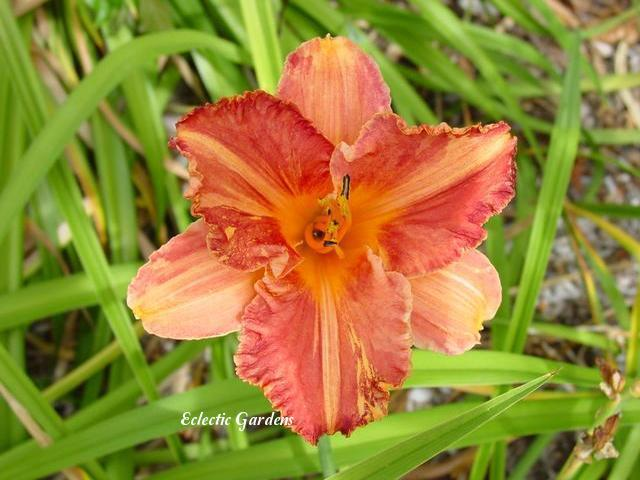 Photo of Daylily (Hemerocallis 'Ruffled Buds') uploaded by Joy