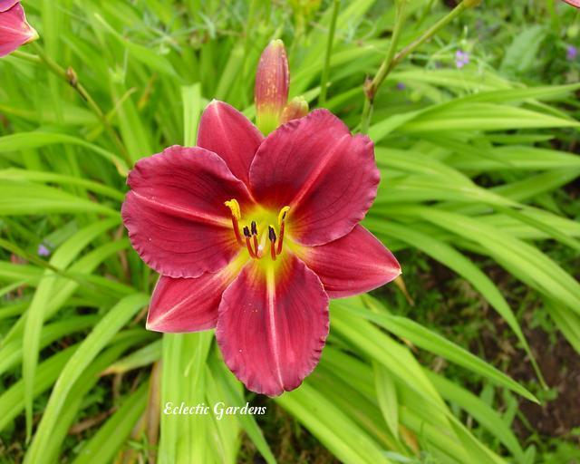 Photo of Daylily (Hemerocallis 'Siloam Red Ruby') uploaded by Joy
