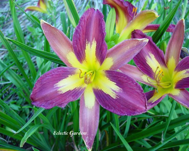 Photo of Daylily (Hemerocallis 'Star of India') uploaded by Joy