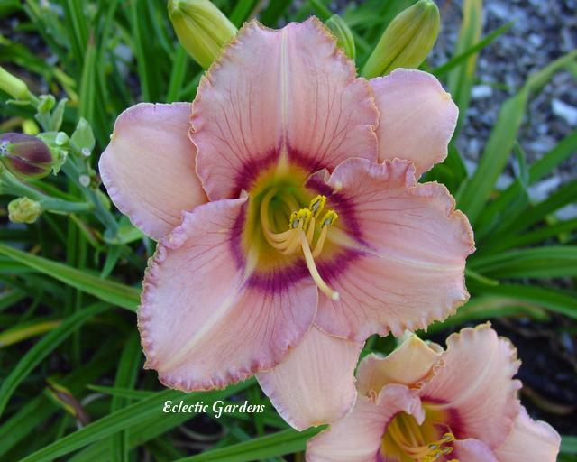 Photo of Daylily (Hemerocallis 'True Grit') uploaded by Joy