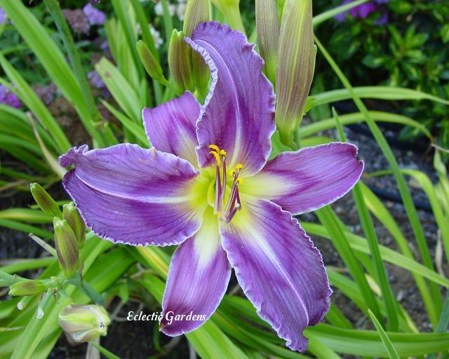 Photo of Daylily (Hemerocallis 'Satin Bird') uploaded by Joy