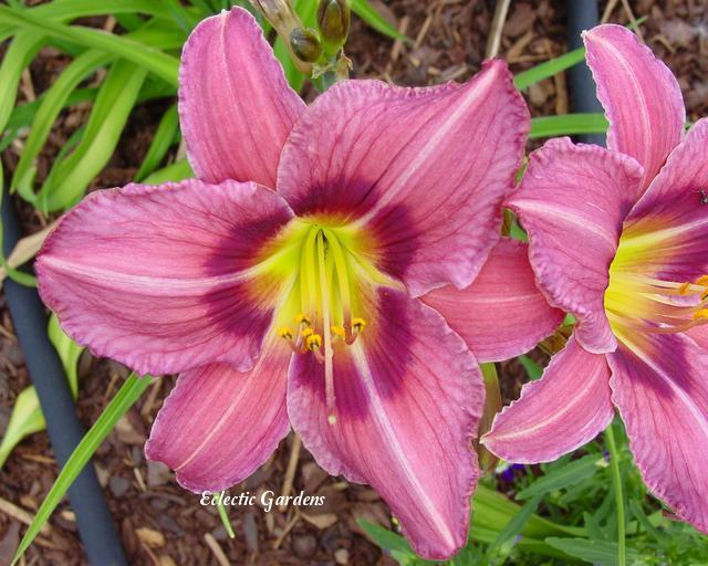 Photo of Daylily (Hemerocallis 'Right on Target') uploaded by Joy