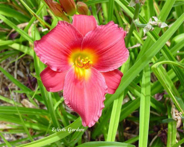 Photo of Daylily (Hemerocallis 'Wine Delight') uploaded by Joy