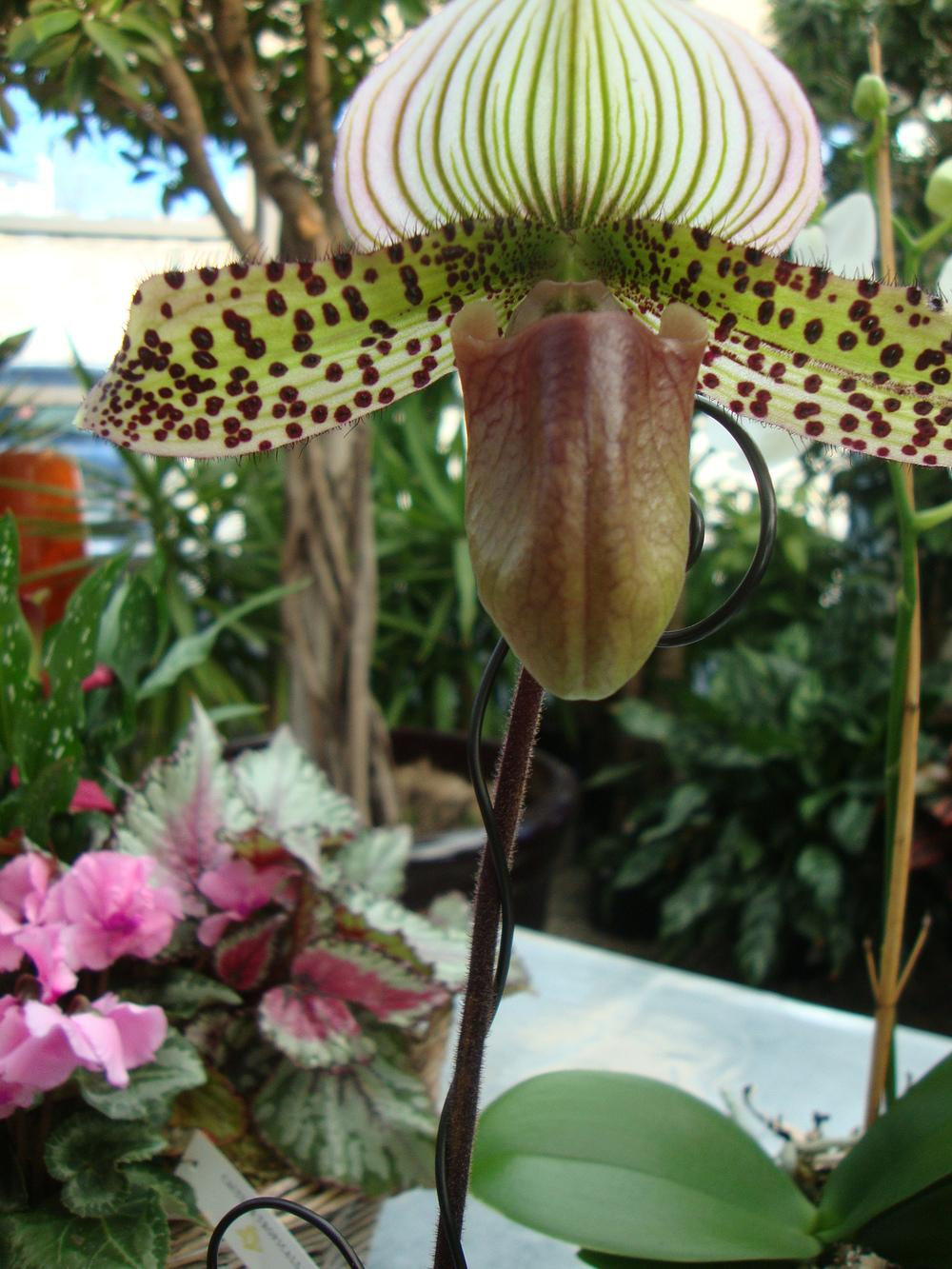 Photo of Slipper Orchid (Paphiopedilum) uploaded by Paul2032