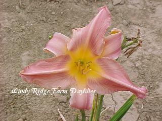 Photo of Daylily (Hemerocallis 'Border Beauty') uploaded by Joy