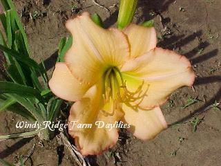 Photo of Daylily (Hemerocallis 'Betty Bennett Brown') uploaded by Joy