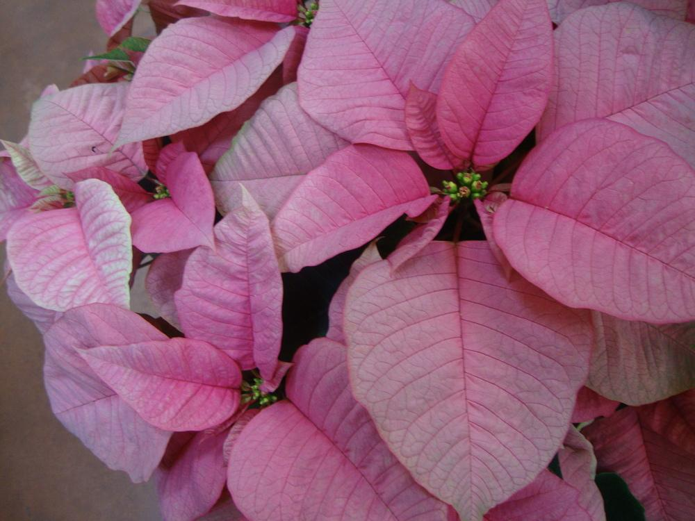Photo of Poinsettia (Euphorbia pulcherrima) uploaded by Paul2032