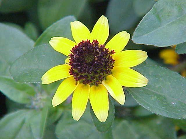 Photo of Creeping Zinnia (Sanvitalia procumbens) uploaded by SongofJoy