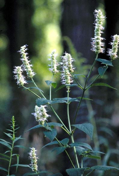 Photo of Yellow Giant Hyssop (Agastache nepetoides) uploaded by SongofJoy