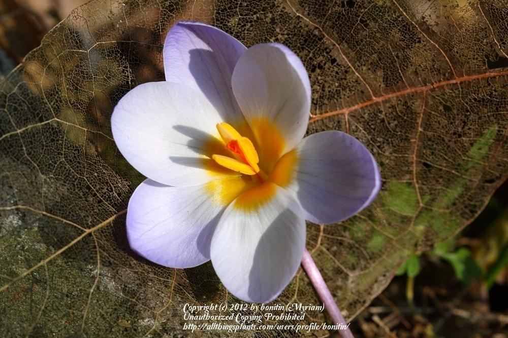 Photo of Crocus (Crocus chrysanthus 'Blue Pearl') uploaded by bonitin