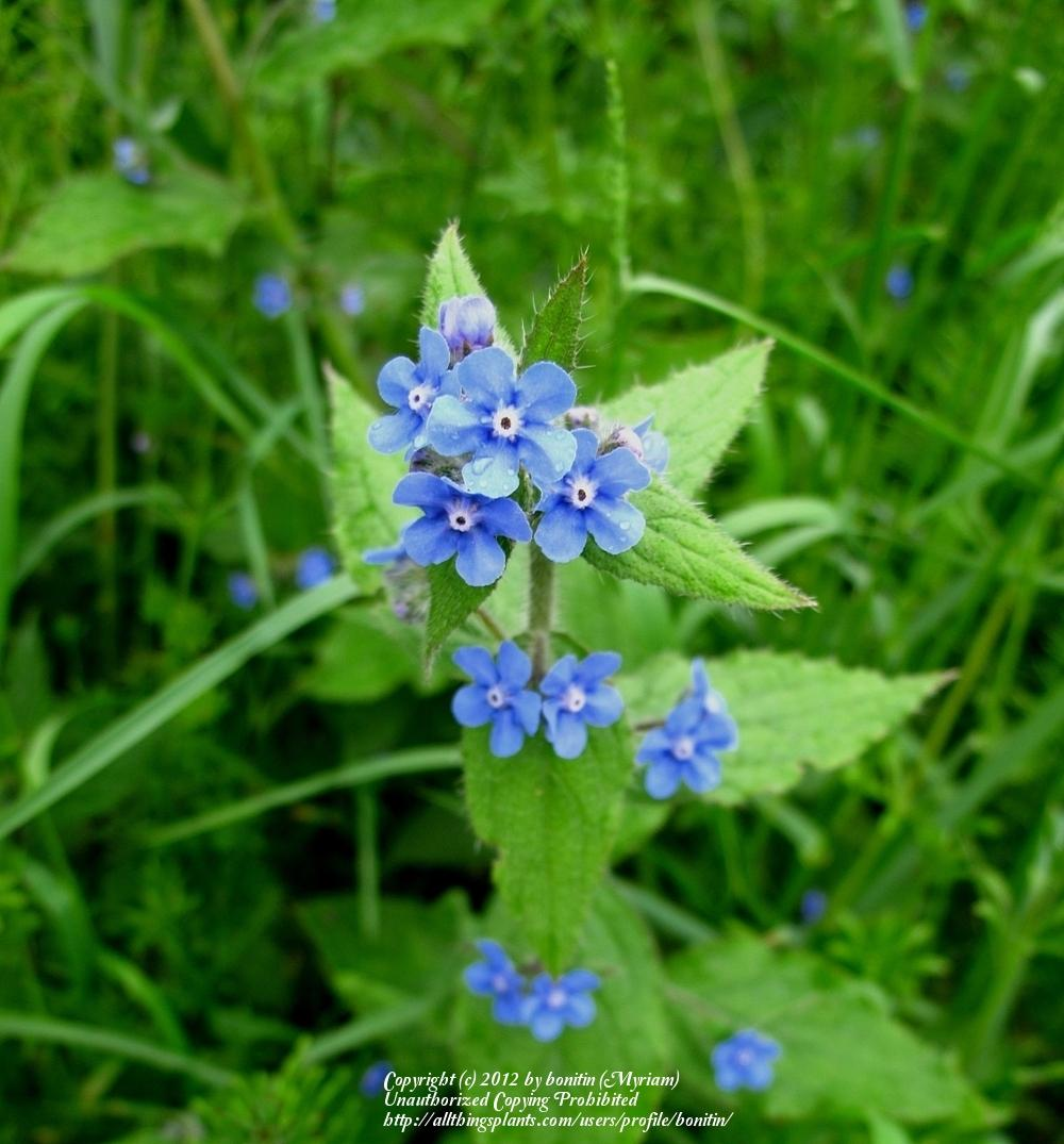 Photo of Chinese Forget-Me-Not (Cynoglossum amabile) uploaded by bonitin