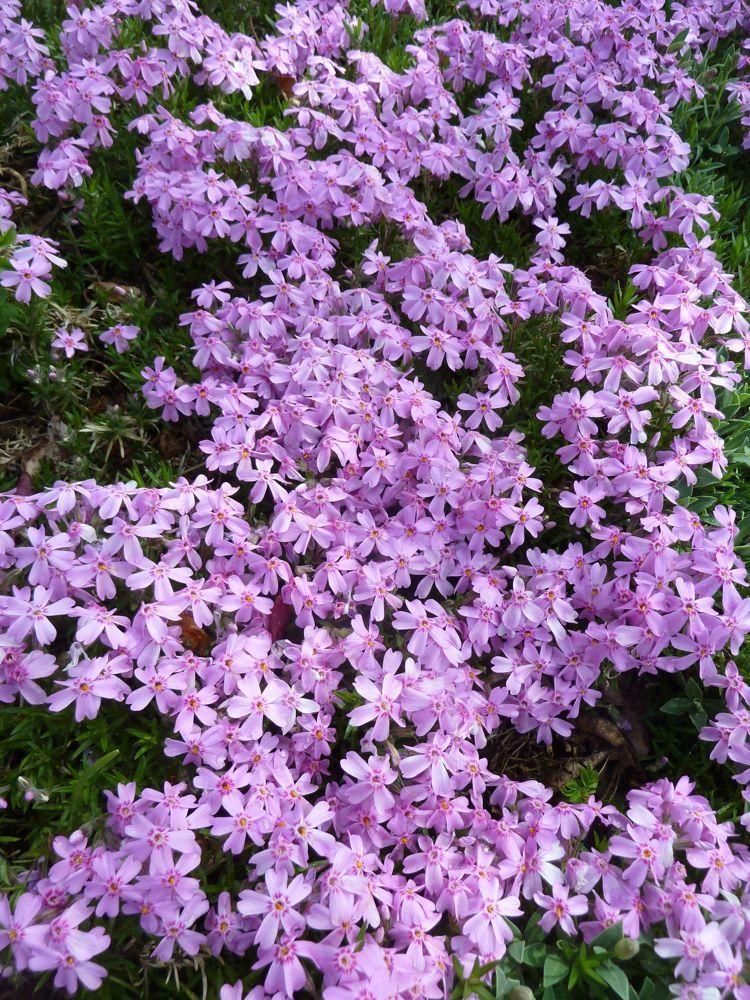 Thyme Ground Cover Perennials