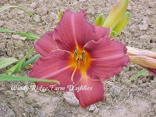 Photo of Daylily (Hemerocallis 'Mateus') uploaded by Joy