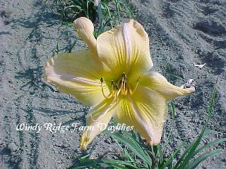 Photo of Daylily (Hemerocallis 'Modernaire') uploaded by Joy