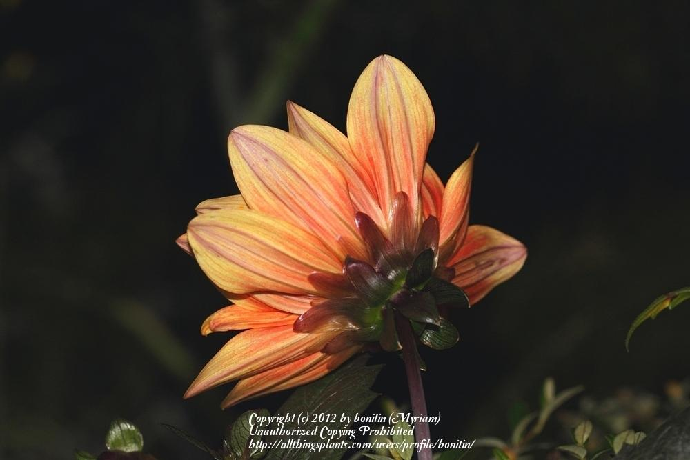 Photo of Dahlia 'Classic Elise' uploaded by bonitin