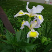 Location: In my gardenDate: 2011-07-04Spuria Iris