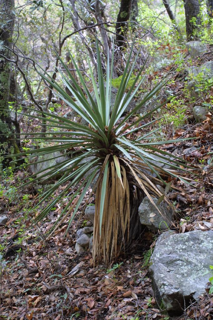Photo of Mountain Yucca (Yucca madrensis) uploaded by SongofJoy